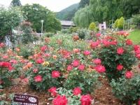 2017-06-11花巻温泉のバラ園262