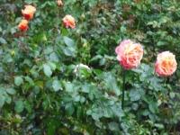 2017-09-30秋のバラ園042