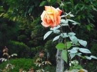2017-09-30秋のバラ園047