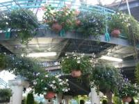 2018-01-14花と泉の公園ベゴニア館44