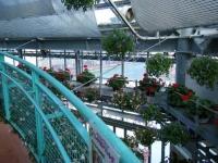 2018-01-14花と泉の公園ベゴニア館79