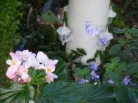 2018-01-14花と泉の公園ベゴニア館88
