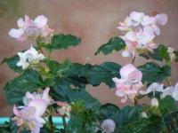 2018-01-14花と泉の公園ベゴニア館96