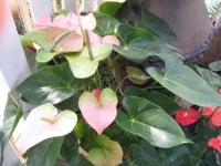 2018-01-14花と泉の公園ベゴニア館141