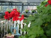 2018-01-14花と泉の公園ベゴニア館144