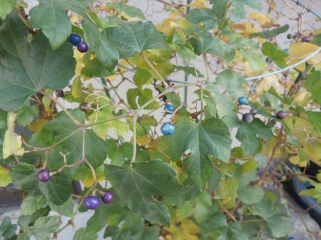 ゴシキノブドウ写真1