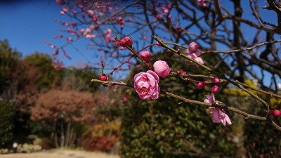 180129umemejiro.jpg