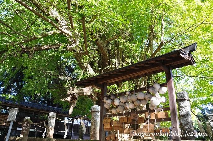 野木神社の大イチョウ2