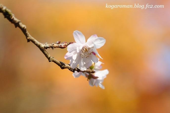 蓬山ログビレッジの冬桜4
