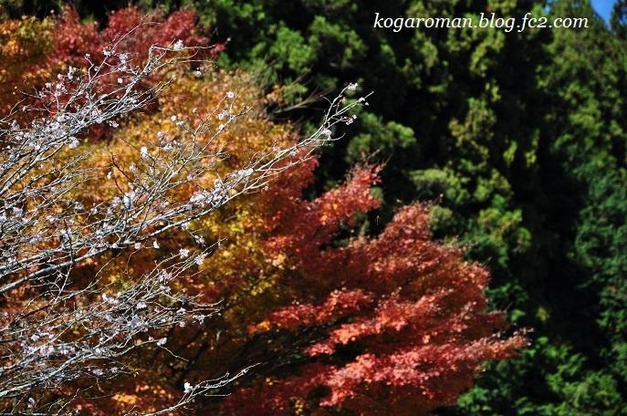 蓬山ログビレッジの冬桜2