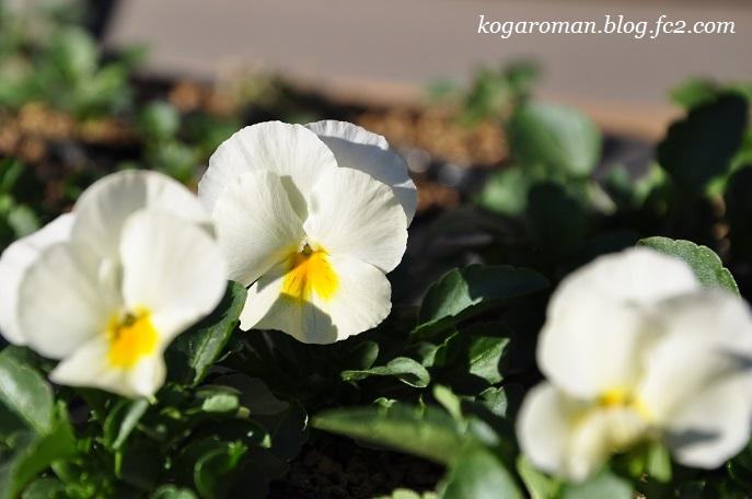 2017よく咲くスミレ種まき日記(6)2