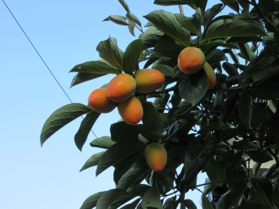 柿の木に実