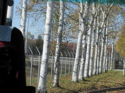 帯広空港からの白樺の並木道