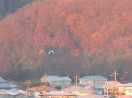朝焼けの山に比翼の鳥