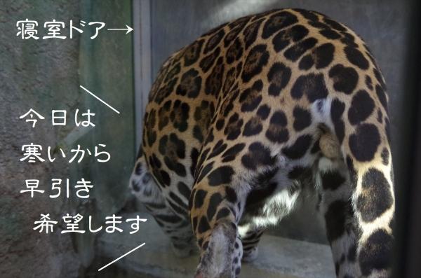 日本平動物園のジャガー 卯月 小助♂(2016年)大阪市天王寺動物園生まれ