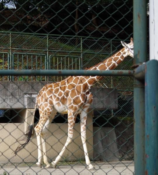 ジュラ君 キリン 福岡市動物園