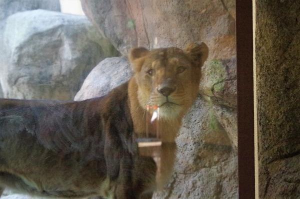 ライオン ♀