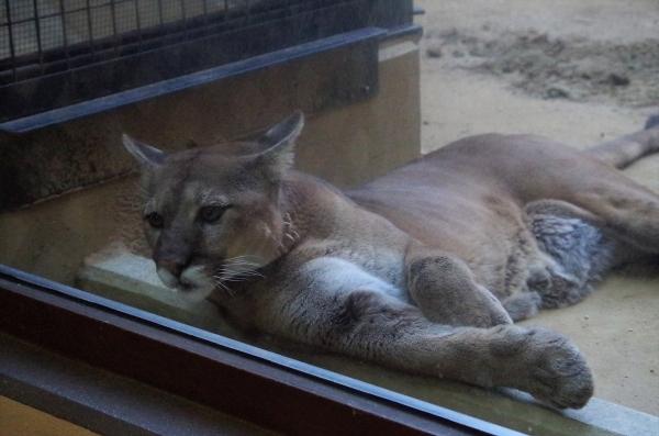 リンカーン(2000年生まれ)2002年アメリカ・ヘンリードーリー動物園より来園