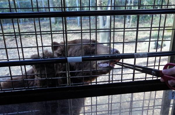 富士サファリ 熊さんに餌遣り