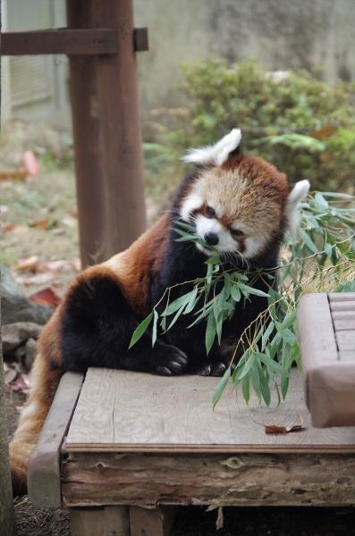 三島市立公園 楽寿園 レッサーパンダ