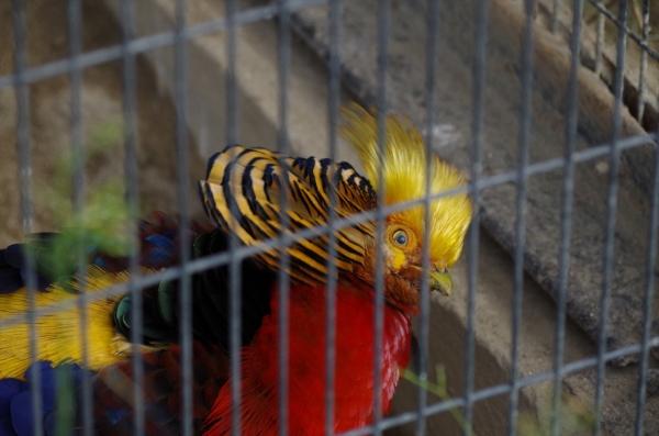 福岡市動物園の鳥 キンケイ?