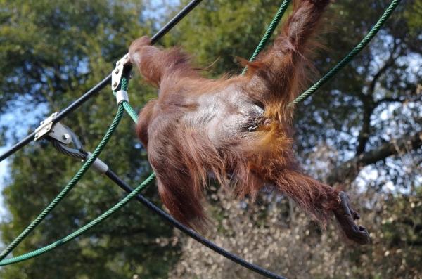 福岡市動物園 ボルネオオランウータン ♀ドーネ