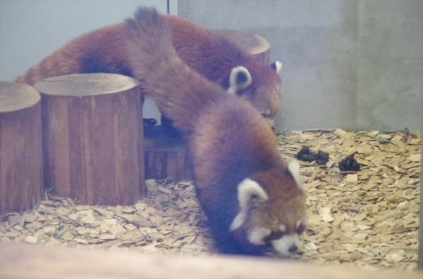 レッサーパンダ ホーマー 赤ちゃん