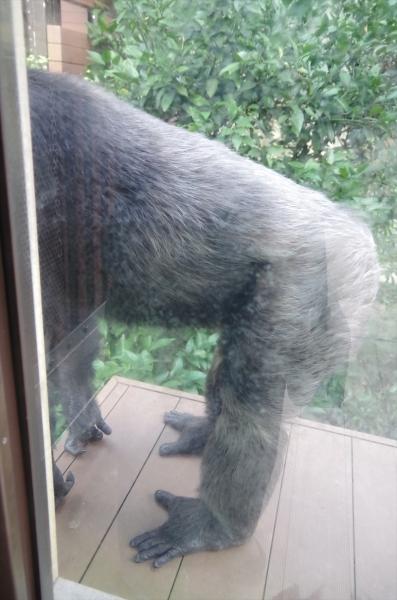 福岡市動物園チンパンジー パンヤ君