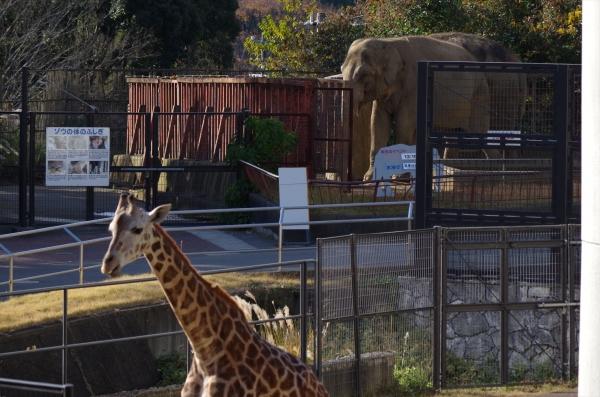 キリンとアジアゾウ