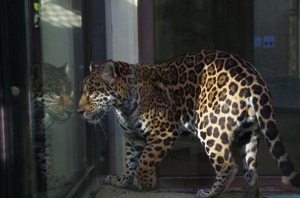 ジャガー卯月 小助君(2016年)大阪市天王寺動物園生まれ