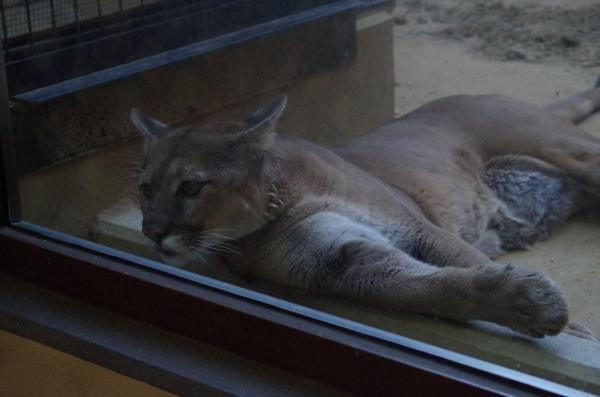 日本平動物園のピューマ リンカーン♂