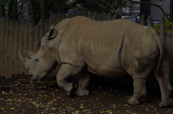 日本平動物園 ミナミシロサイ タロウ君とサイコちゃん