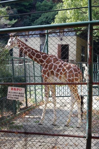 リンダちゃん キリン 福岡市動物園