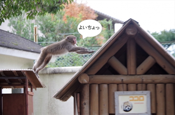 三島市立公園 楽寿園 レッサーパンダ舎 野生のサル