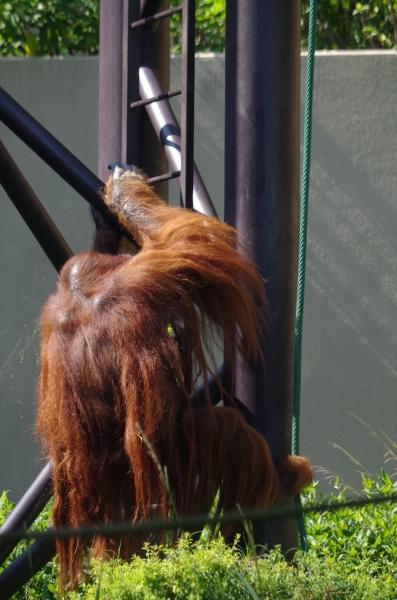 福岡市動物園 オランウータン ミミさん
