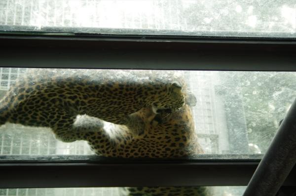 ルナ 福岡市動物園 ヒョウ チビルナ