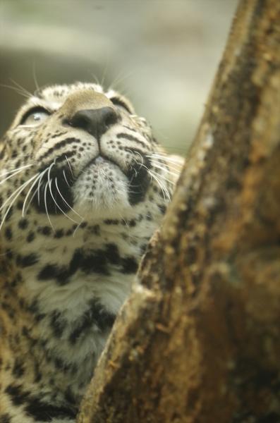 福岡市動物園のヒョウ 2017年生まれのチビちゃん