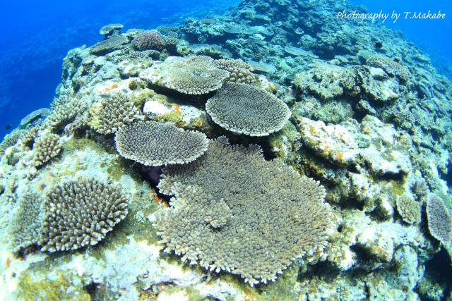 22-1★沖縄慶良間座間味島のサンゴ