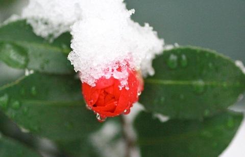 180125 雪椿