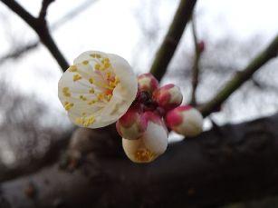 梅の花@赤羽台 (5)