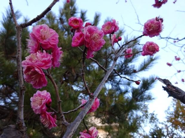 梅の花@赤羽台 (3)