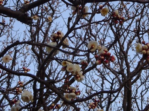 梅の花@赤羽台 (7)