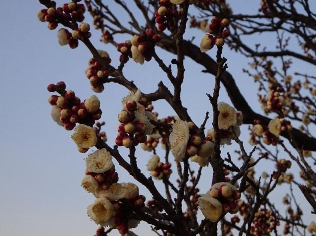 梅の花@赤羽台 (8)
