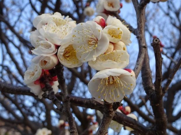 梅の花@赤羽台 (10)