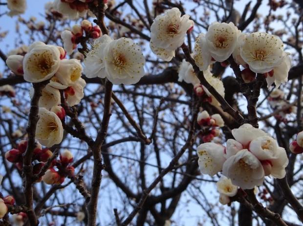 梅の花@赤羽台 (11)