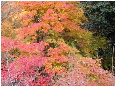 霧の森紅葉19