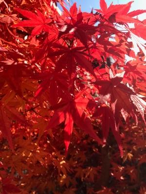 11月 庭の紅葉
