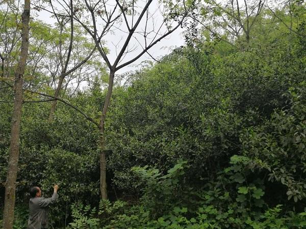 貴州省野生茶茶園