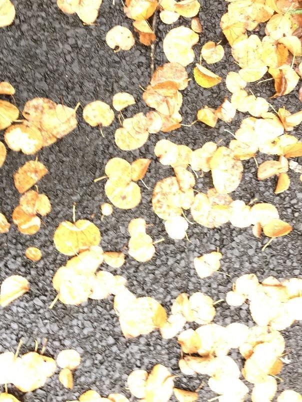 カツラ 落ち葉