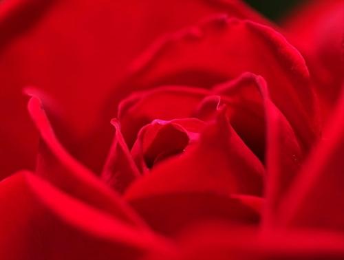 バラの花もアップで